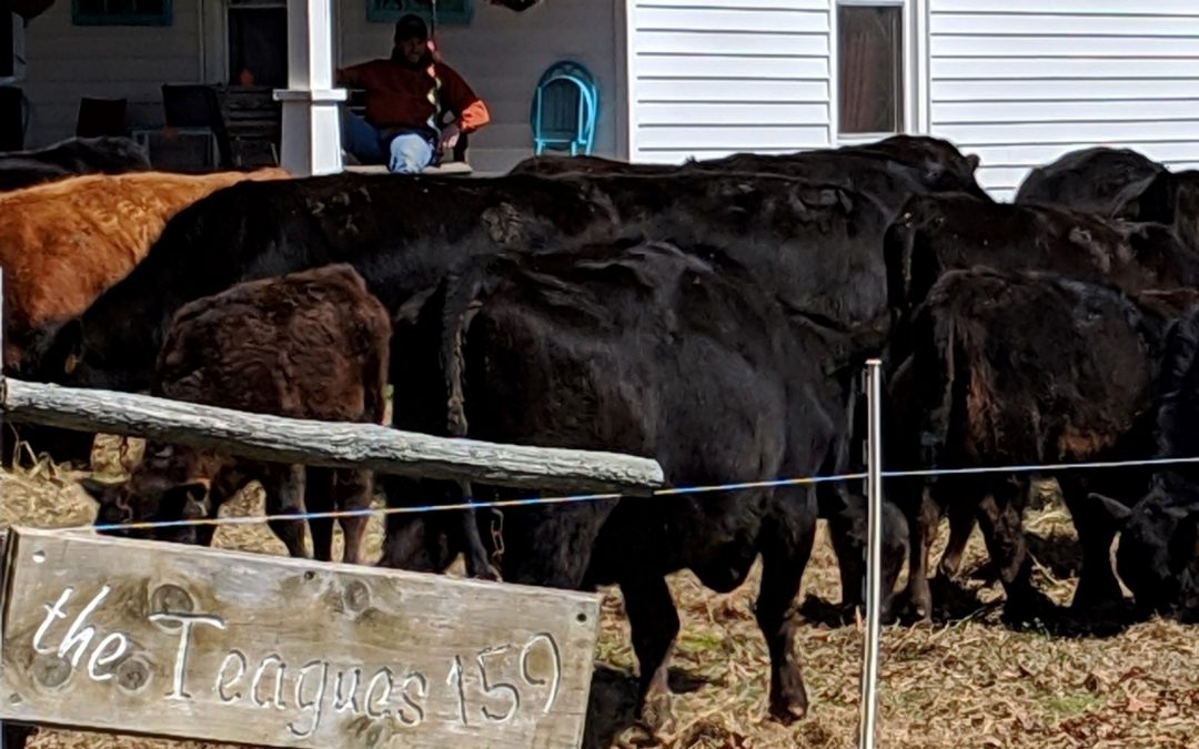 Spring Yard Work Using Cows Continued….